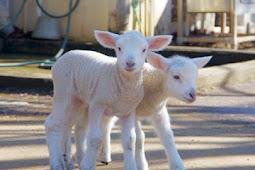 羊のソールとヒメル一般公開 ふなばしアンデルセン公園