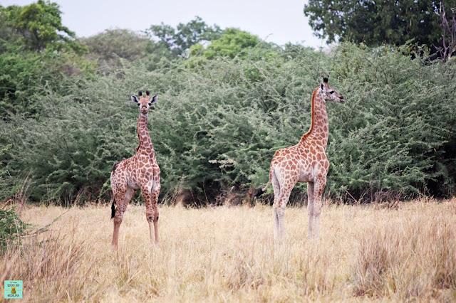 Jirafas en la Reserva de Moremi de Botswana