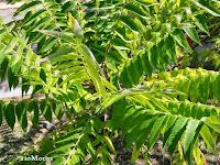 Fotos de arbustos ornamentales plantas riomoros for Tipos de arbustos ornamentales