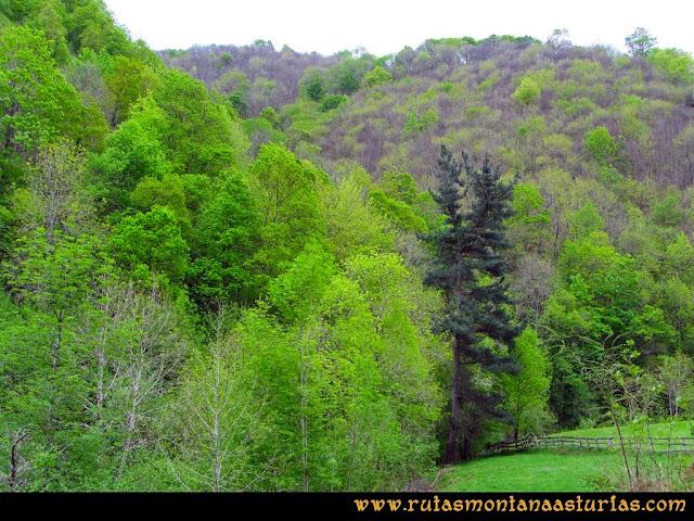 Ruta del Alba: Pino emergiendo entre el resto de árboles