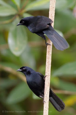 Velvet-fronted Grackle