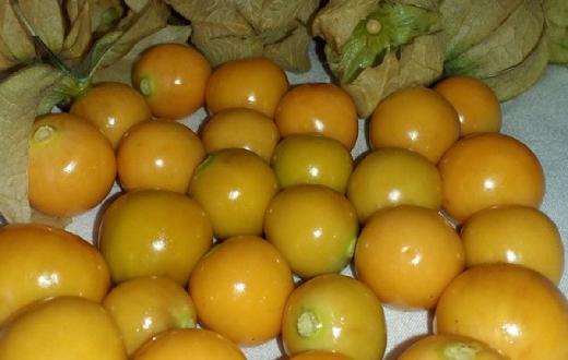 Tanaman yang memiliki nama latin Physalis angulata bagi petani pastilah mengenalnya. Khususnya di Indonesia tanaman ini memiliki banyak nama seperti ciplukan, cemplukan, cecendet, buah cimpluk atau nama lainnya.