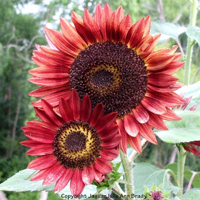 Two Vivid Red Autumn Beauty Sunflower Blossoms