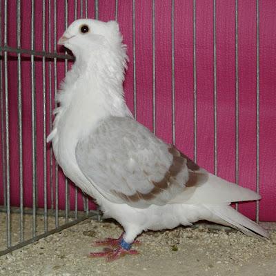 owl pigeon - ghent owl - fancy pigeon - Genter Mövchen