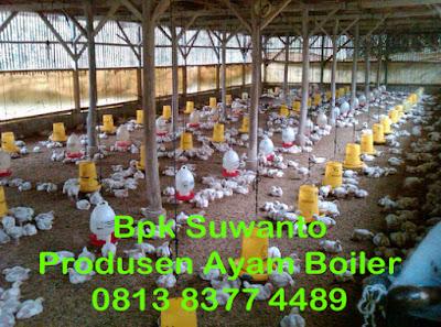 Harga Ayam Broiler Tangerang Terbaru