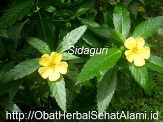 Laurik Hpai Obat Herbal ALAMI Asam Urat, Rematik dan Nyeri Sendi~Persendian