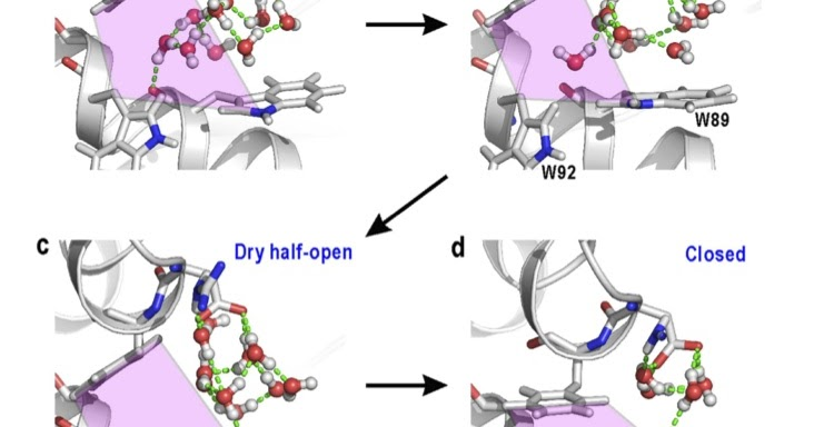 hydrophobic and hydrophilic interaction in protein folding biology essay Buried hydrophobic side-chains essential for the folding of the parallel beta-helix department of biology 68 hydrophobic and hydrophilic interactions.
