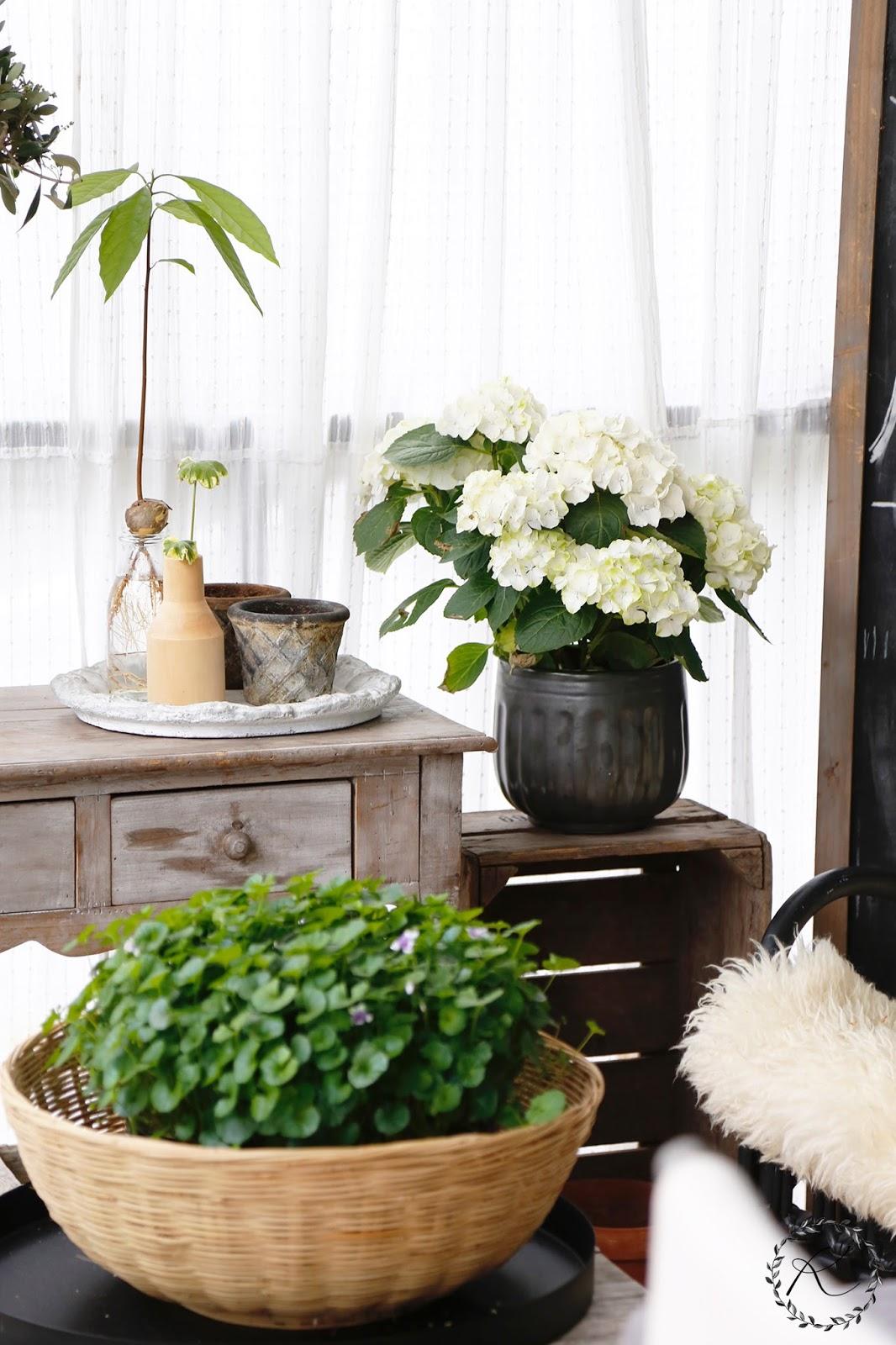 Valkoinen Hortensia Muuttuu Vihreäksi