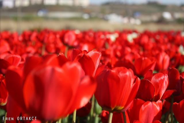Ankara Gölbaşı Mogan Gölü Kırmızı Laleler