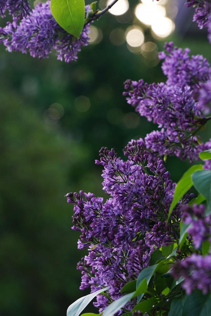 syreeni, kukkiva pensas