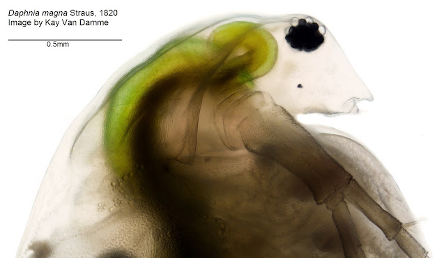 Fossilized water fleas: Evolution of the micro-crustacean group Cladocera