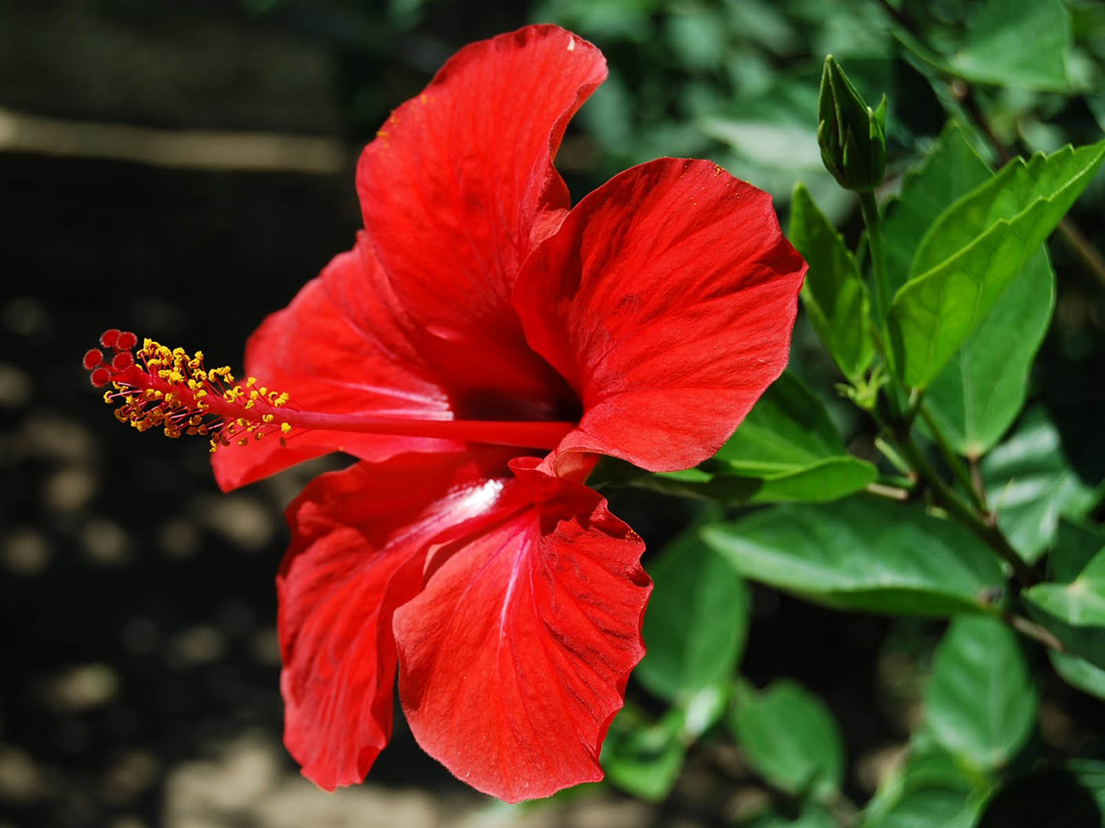 How Hibiscus Powder Is A Natural Way To Better Healthier Living