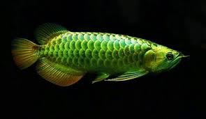 Arwana Hijau, Salah Satu Jenis Ikan Arwana
