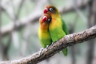 Beginilah cara yang aman untuk membuka glodok lovebird yang sedang meloloh