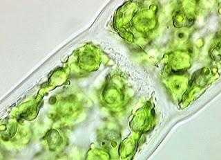 oligosakarin