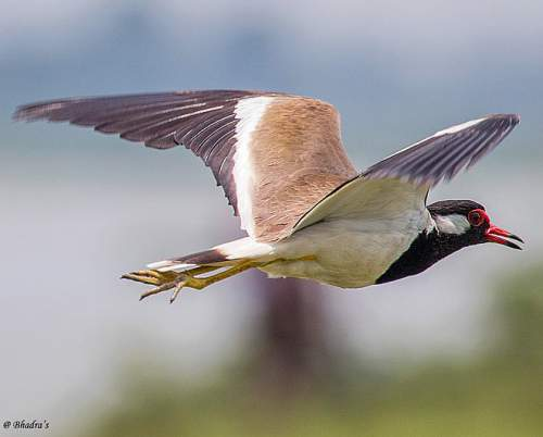 Birds of India - Photo of Red-wattled lapwing - Vanellus indicus