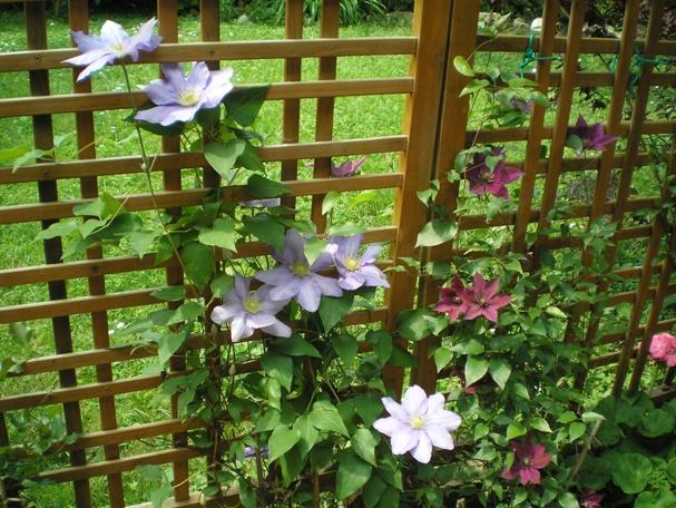Piante e fiori come si coltivano i rampicanti su una terrazza for Piante da giardino rampicanti