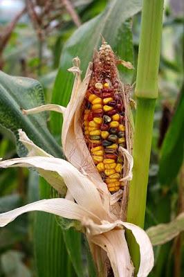 las semillas ecologicas recuperan la biodiversidad