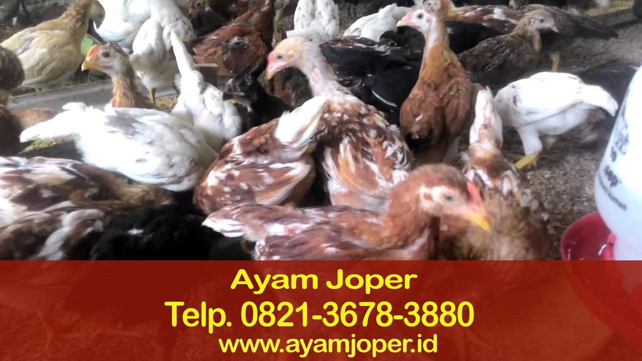 100 Gambar Ayam Joper HD Gratis