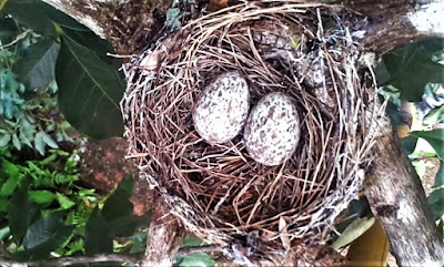 The Pied Triller's eggs