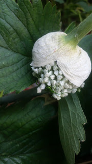 Keukenafval preistronkje in bloei