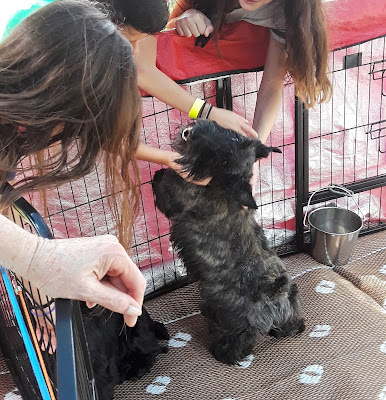 Friendly Scottish Terrier dog greeting children at a Scottish Festival.  Scotties are the quintessential dogs of Scotland!  Scottish Dogs.