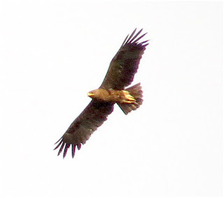 Indian Spotted-Eagle