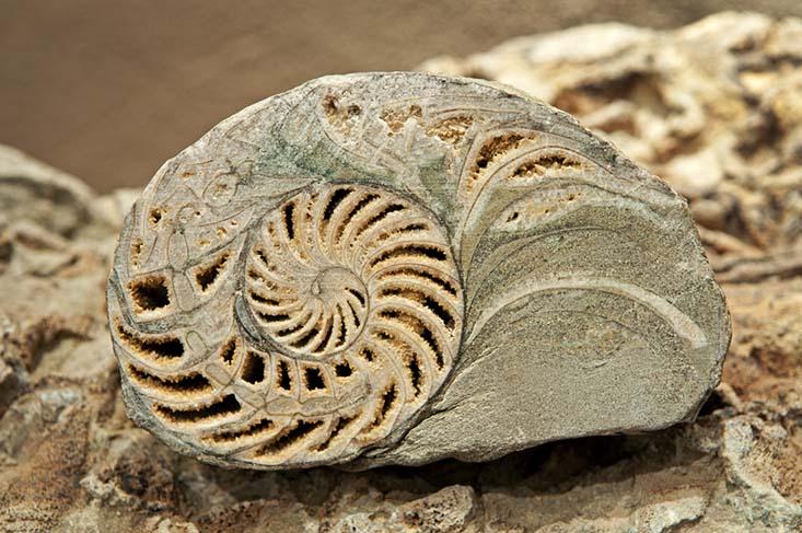 Fósil de Nautilus encontrado en el sector de Laguna del Negro Francisco