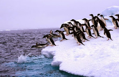 Penguins diving into the ocean picture