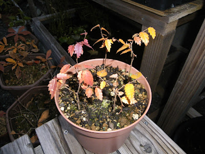 ケヤキ 盆栽 苗 紅葉