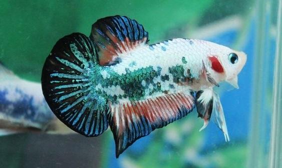 Ikan Cupang Fancy Koi - Ikanhiasku.net