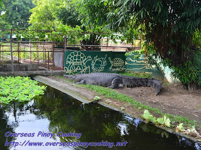 Lapu-Lapu a 50years old and 15feet Crocodile.