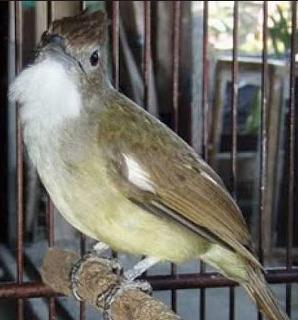 Burung Cucak Jenggot Betina