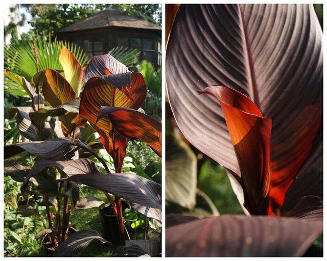 Indisches Blumenrohr Canna tropicanna im Kübel