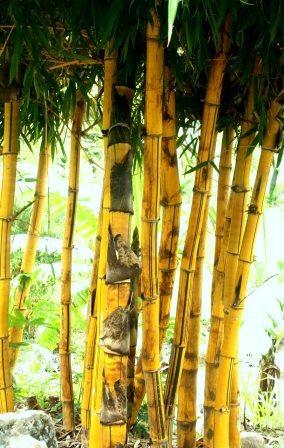 Hasil carian imej untuk Bambu Kuning