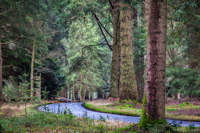 A small lane curves below a towering canopy of giant trees in the New Forest National Park