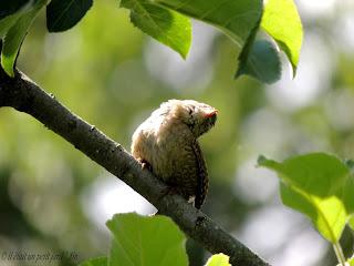 troglodyte mignon oiseaux