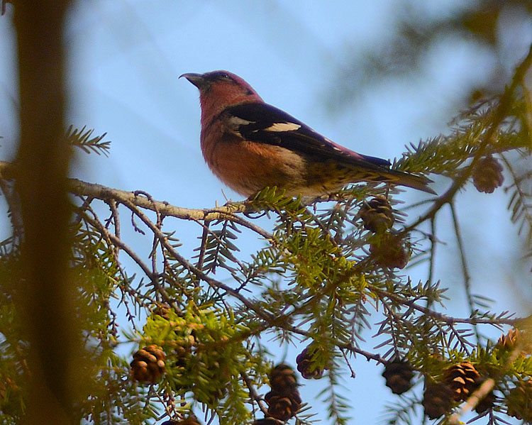 White-winged Crossbill at Miami Cemetery near Caesar Creek and Waynesville, OH.
