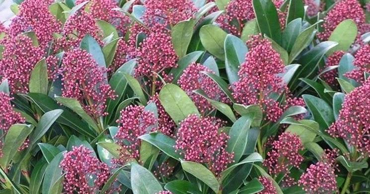 Non solo angeli le piante portafortuna for Skimmia pianta