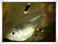 X-Ray Tetra Fish Animal Pictures
