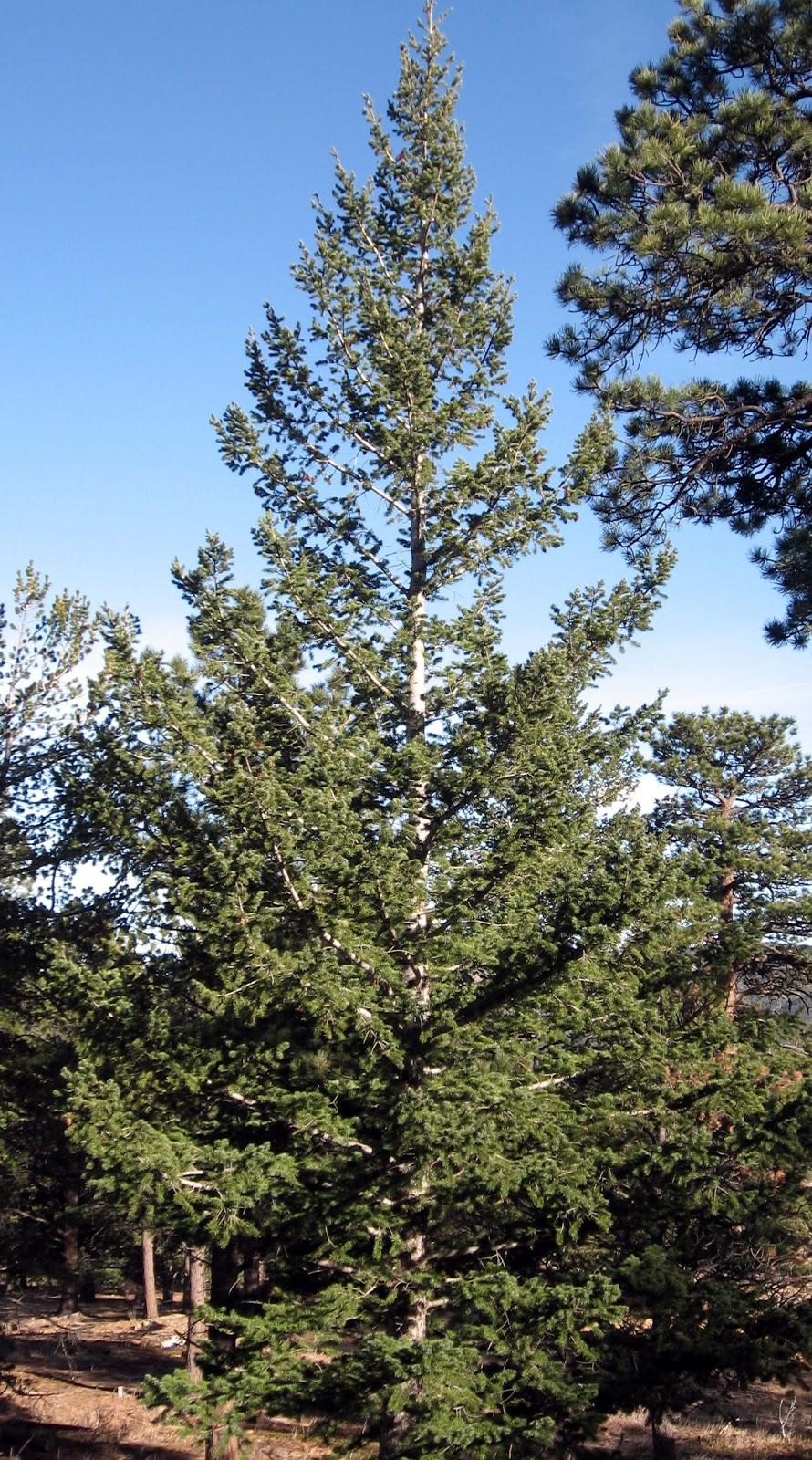 Rocky Mountain Bushcraft Rocky Mountain Tree