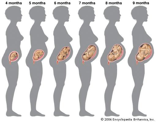 pregnancy belly chart - Denmarimpulsar