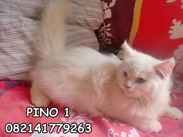 jual kucing persia medium, kirim seluruh Indonesia