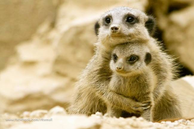 Baby Animals And Their Mothers Unlimited Funny Stuff