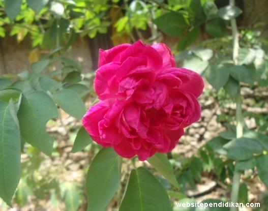 Ciri Khusus Bunga Mawar dan Fungsinya