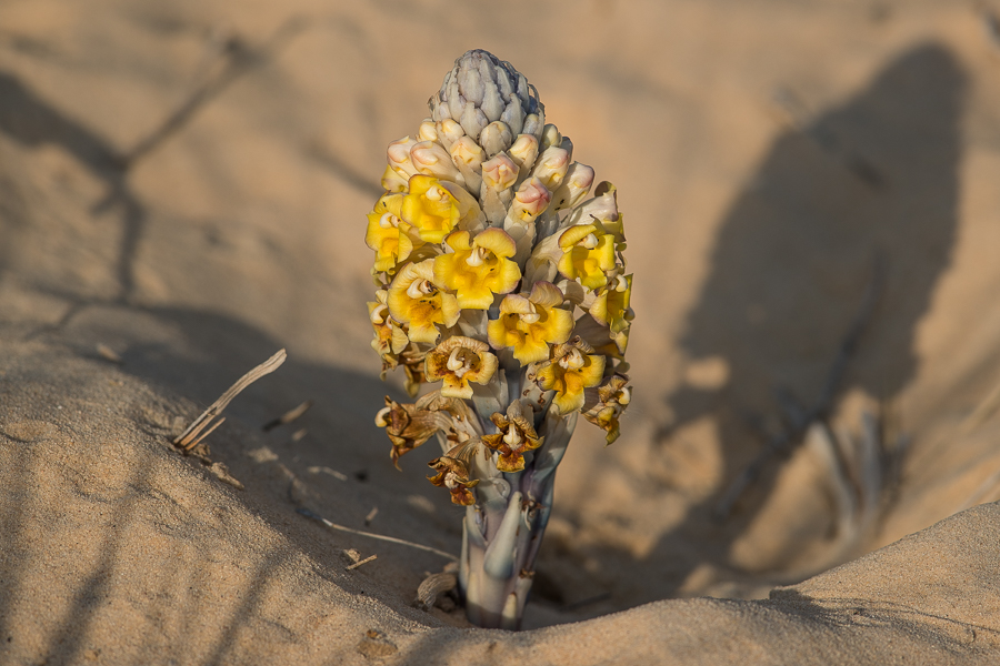 Desert Hyacinth