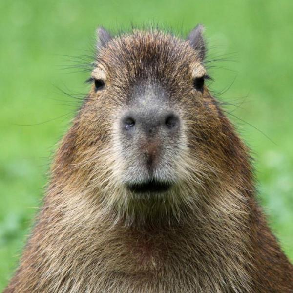 El capibara es considerado el animal más amistoso del mundo.