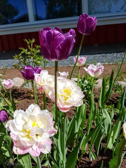 tulppaani kevät kukkapenkki