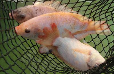 The aquaculturists 26 09 2016 ohio state aquaculture for Ohio state fish
