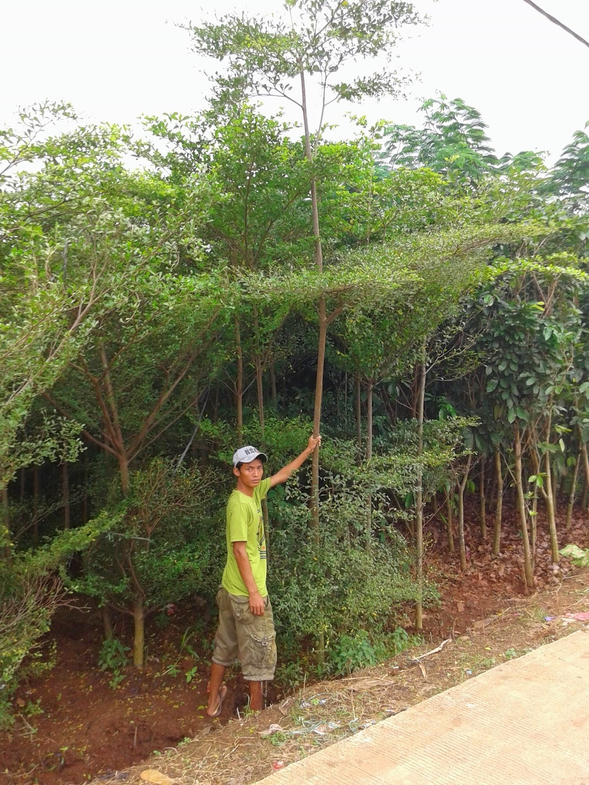 Jual Pohon Ketapang Kencana Murah | Pohon Pelindung Peneduh